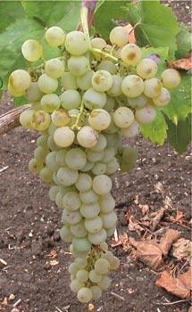 Histoire de la viticulture sicilienne, le Grillo.