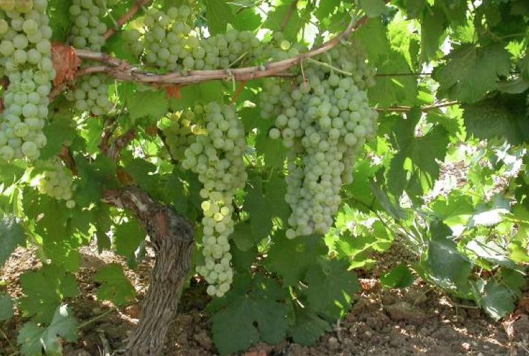 Grecanico vins siciliens
